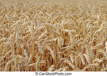 wheat in the field ready for harvest