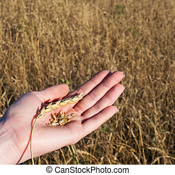 Wheat in the hands of the girl. Wheat spike and peeled.