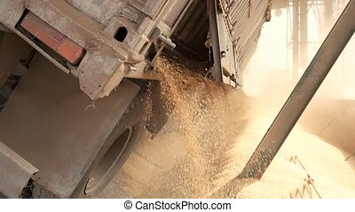 Wheat is strewing. Wheat is unloaded from a truck.
