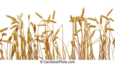 wheat isolated on a white
