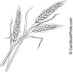 wheat., kłosie