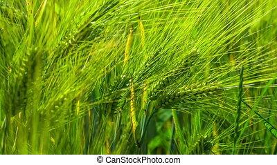 Wheat Lightend on Sunny Day, Motion on Slight Wind - Wheat...