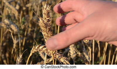 wheat magnify glass close - farmer hand with magnify glass...