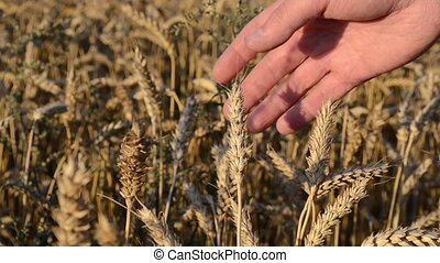 wheat magnify tool close - farmer hand with magnify glass...