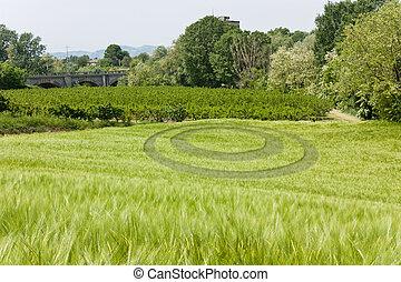 wheat ocircle