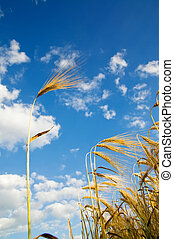 wheat of ear with blue sky