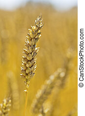 wheat on a field - spikes of wheat on a cornfield of a...