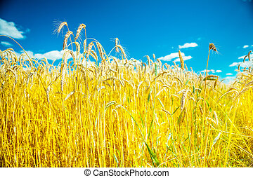 wheat on background of sky