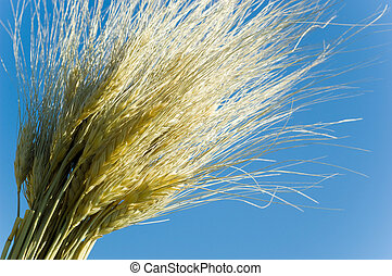 Wheat on Blue - Sheaves or bundle of wheat against blue sky...