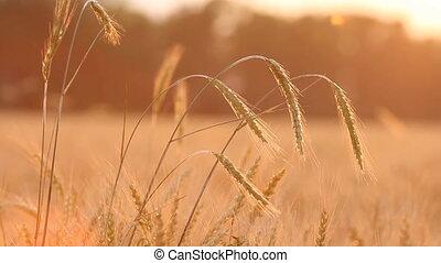 Wheat on breeze background