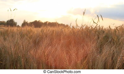 Wheat on breeze, sunset sky