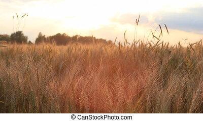 Wheat on breeze, sunset sky