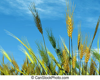 wheat on sky background