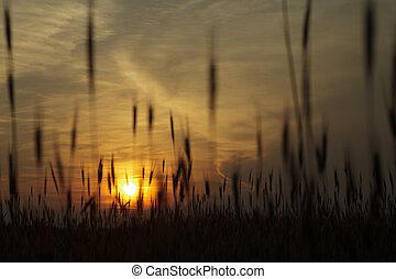 Wheat on sunset background