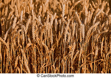 Wheat on the field.