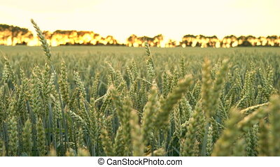 Wheat or barley field blowing in the wind at sunset or...