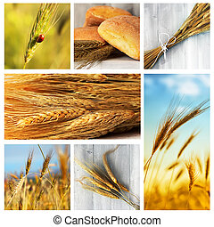 Wheat - Photo collage of wheat, rye and bread
