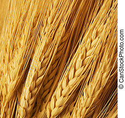 wheat - Close up of wheat nice detail background