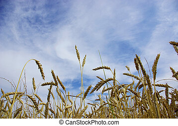 wheat - Ears of wheat on a background sky