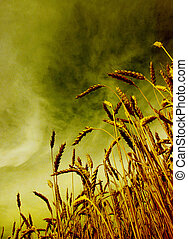 wheat - Ears of wheat on a grunge background