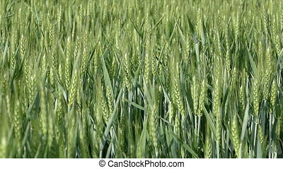 Wheat plant moving at breeze, slow motion