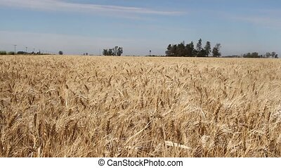 wheat plantation in the Argentine countryside