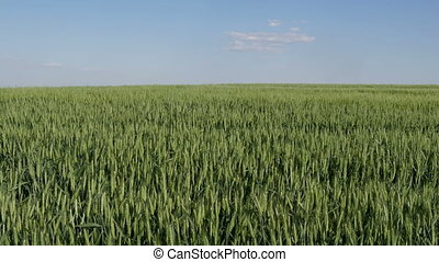 Wheat plants in field, late spring