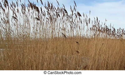 Wheat reed grass waving on the breeze of the wind