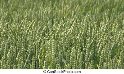 Wheat rye ear move in wind in rural agriculture field.