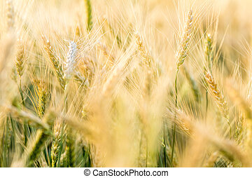 Ripe barley on the field on late summer afternoon - Wheat...