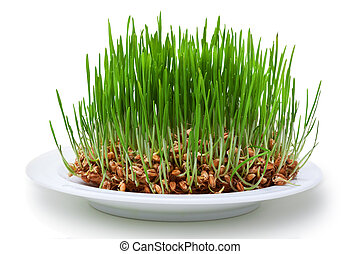 Wheat seeds with green sprouts