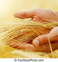 wheat., skörd, begrepp