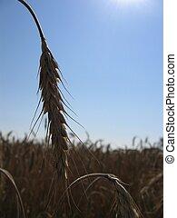Wheat Spike I