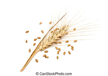 Wheat spike with seeds isolated on white