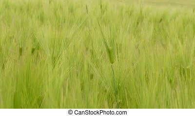 Wheat spikelets with a raised mustache to the sun - Wheat...