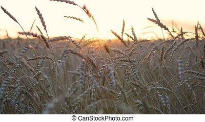 Wheat spikes fly in the wind. Wheat field - Wheat field....