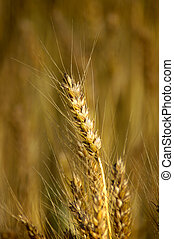 Closeup view of wheat with a blurred wheat field in the background.