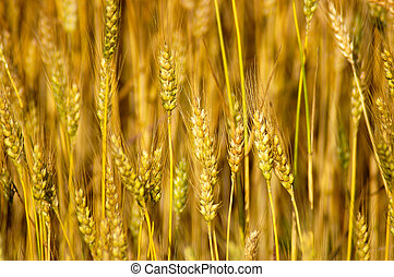 Wheat Stalks - Close-up detail of ripe wheat stalks