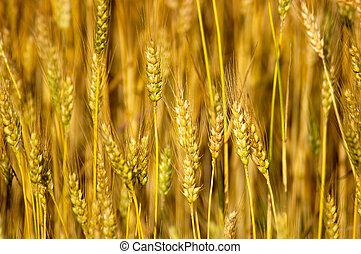 Wheat Stalks - Close-up detail of ripe wheat stalks