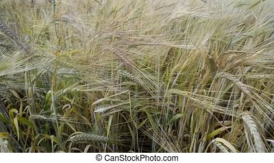 wheat stalks shaked - wheat stalks waved by light wind by...