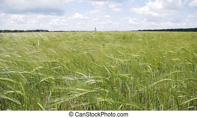 Wheat ears swaying on the wind