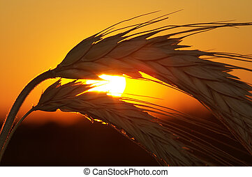 Wheat  - Silhouette of wheat on a sundown background