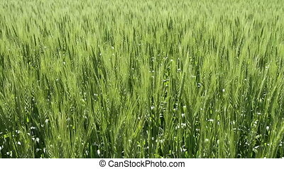 Wheat - Growing summer wheat crop