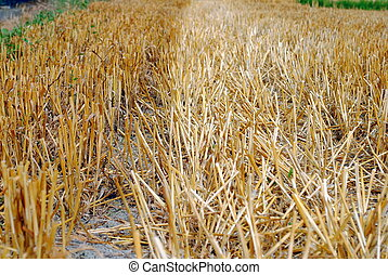 wheat straw in the field after harvest time