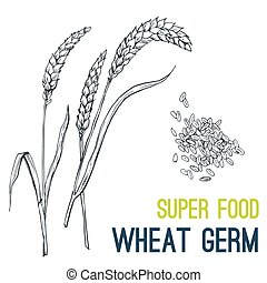 WHEAT. Super food hand drawn sketch vector - Wheat germ....