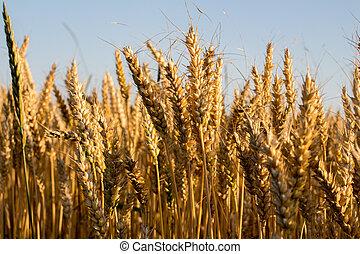 wheat under blue sky