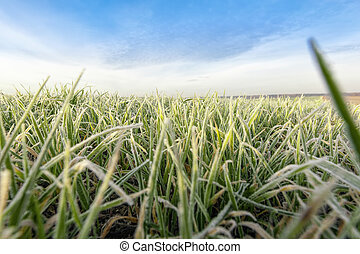 wheat with ice crystals