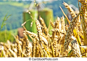 wheat with silo in the background