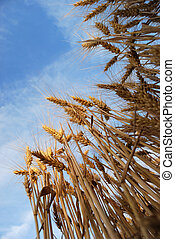 Wheaten field with the ripened ears for harvesting.