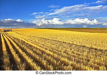 Wheaten fields of Montana after harvesting